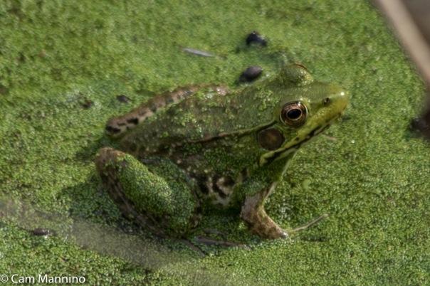 Green Frog Playground Pond_