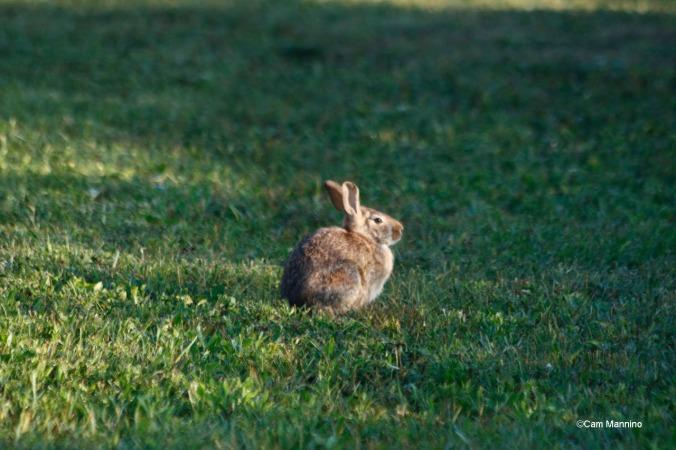 Rabbit GC