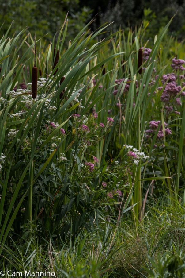 Swamp Milkweed Boneset Cat-tails BC