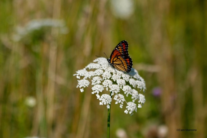Viceroy on Queen Anne's Lace