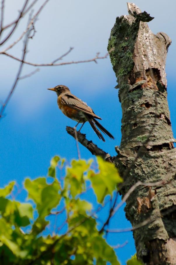 An immature Robin, still losing its breast spots, surveys Gallagher Creek.