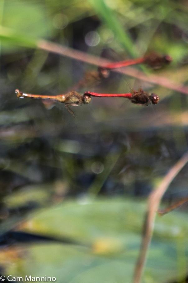 2-meadowhawks-mating-tandem