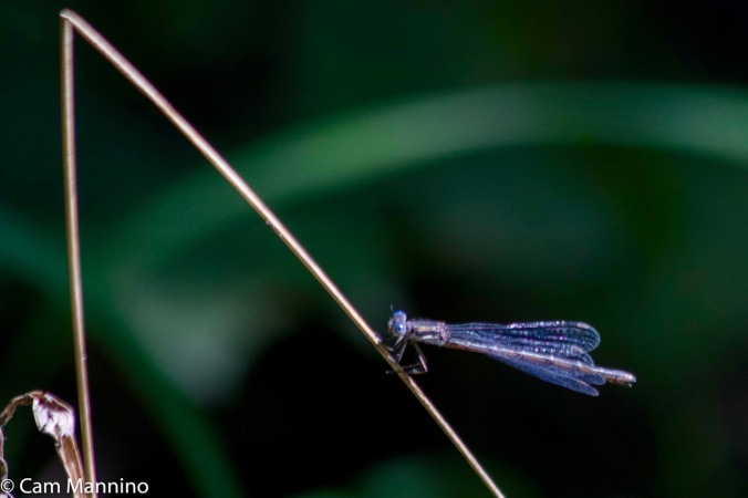 bluet-damselfly-ll