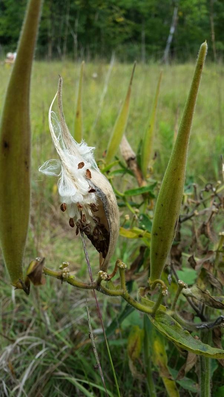butterfly-milkweed-seed-pod
