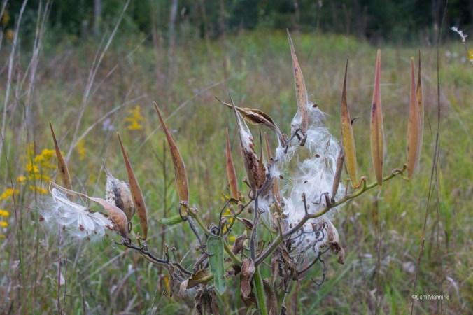 butterfly-milkweed-seeding-candleabra-gc