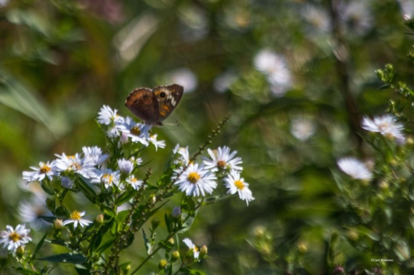 common-buckeye-butterfly-bc-1
