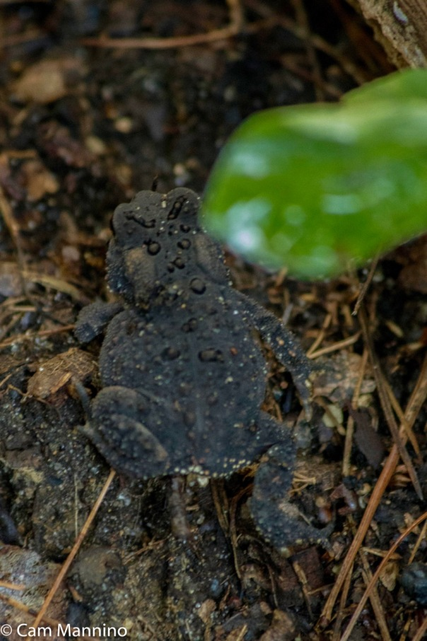 eastern-american-toad-ll