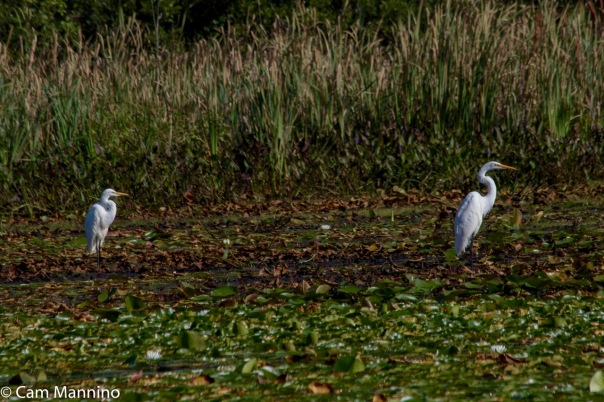 egret-adult-and-juvenile-ll