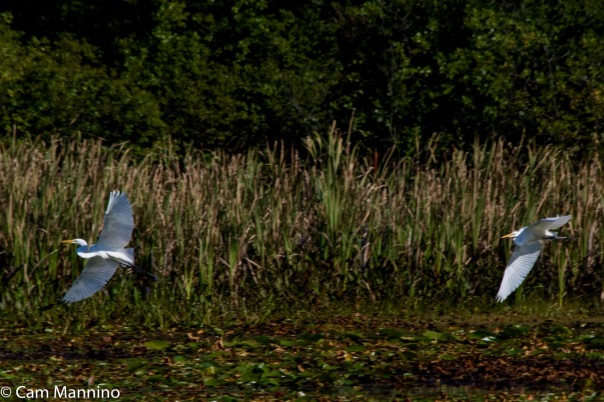 egrets-taking-off-ll