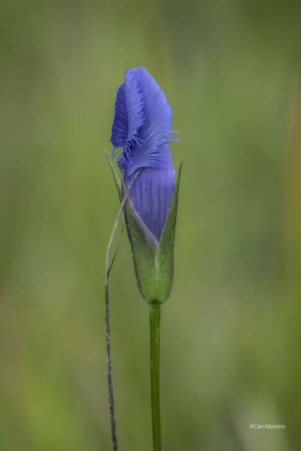 fringed-gentian-wet-prairie