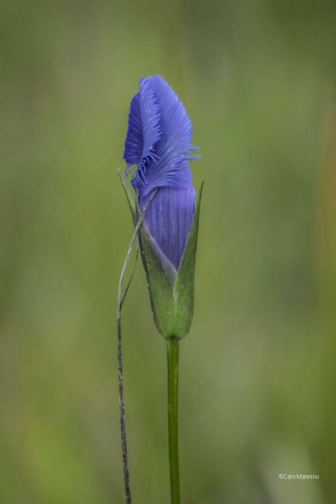 fringed-gentian-wet-prairie