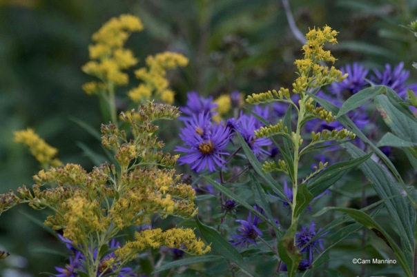 goldenrod-and-new-england-aster-bc-1