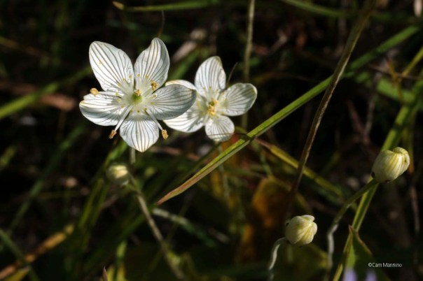 grass-of-parnassus1