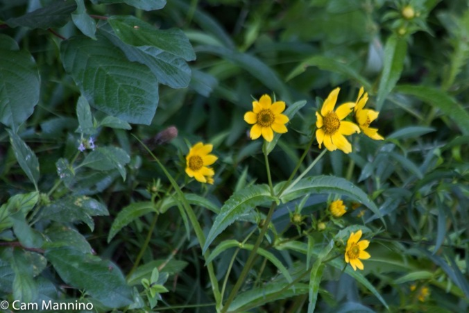 nodding-bur-marigold-ll