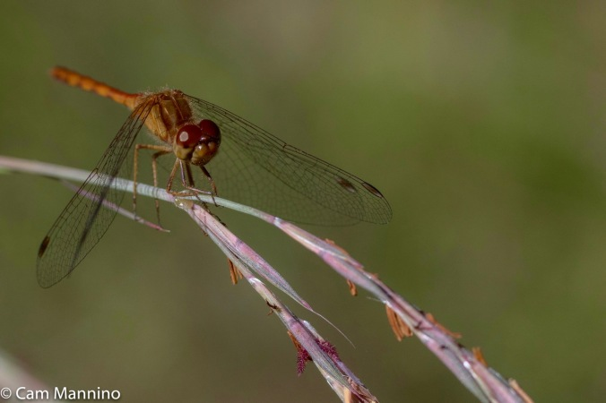 ruby-meadowhawk-closeup-ll