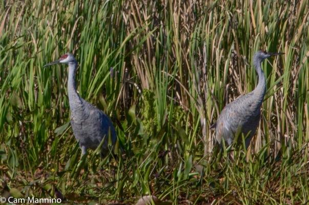 sand-hill-cranes-ll