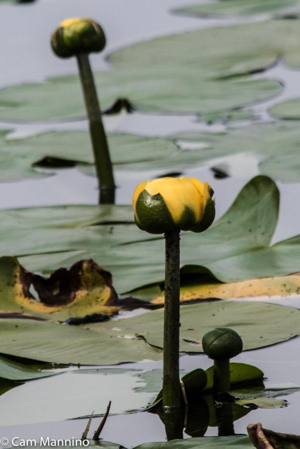 water-lily-buds-ll