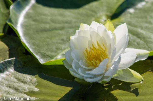 water-lily-closeup-ll