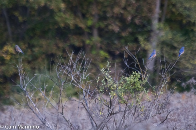 3 bluebirds in bush
