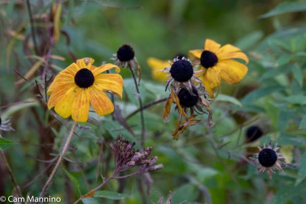 Black-eyed Susan seeding