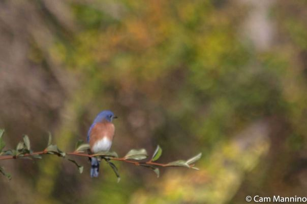bluebird-male-alone-cl