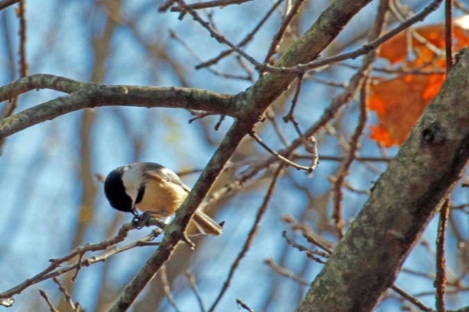 chickadee-eating-seed