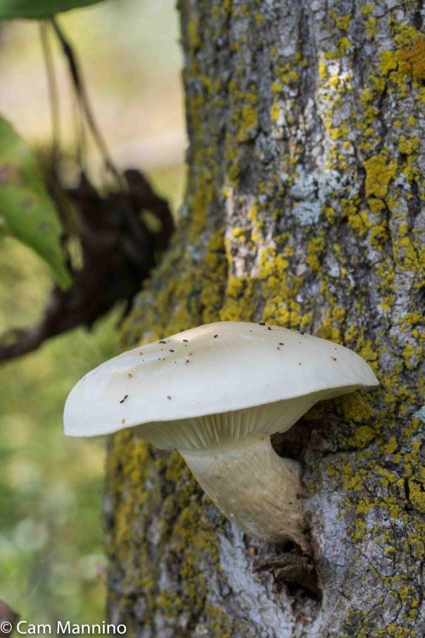 Elm Oyster Mushroom Hypsizygus ulmarius