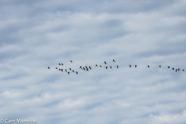 Flock geese flying CL