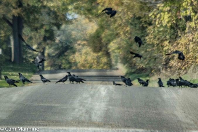 Flock of Crows Buell
