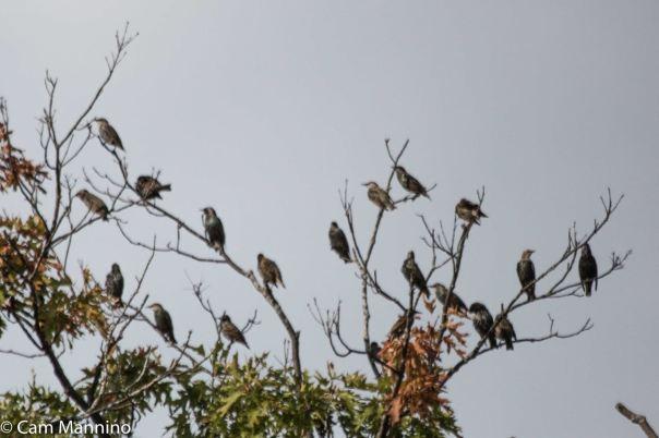 Flock of Starling Buell