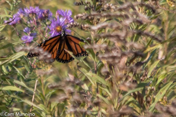 monarch-on-new-england-aster-1