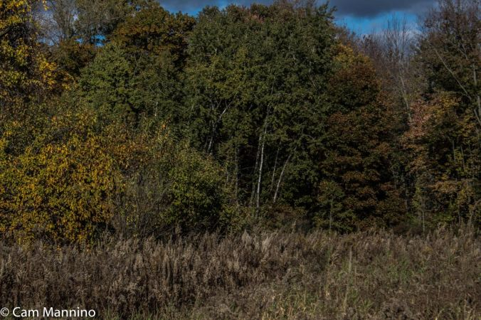 The golden swath of Showy Goldenrod turns to a brown, seed rich patch.