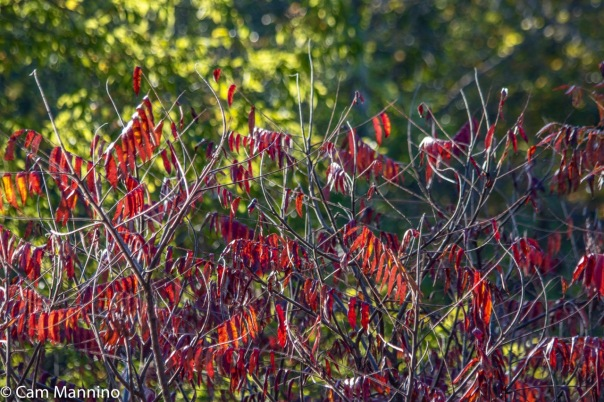 Staghorn Sumac no seeds