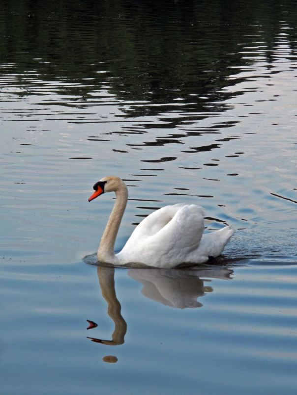 swan-showing-off