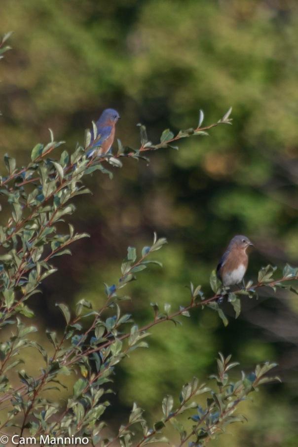 Two Bluebirds CL