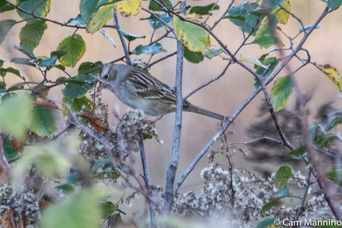 White-crowned Sparrow 1st winter eating