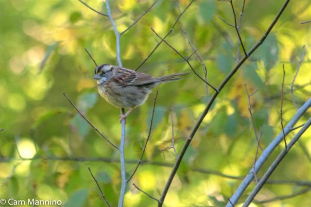 White-throated Sparrow 3 CL