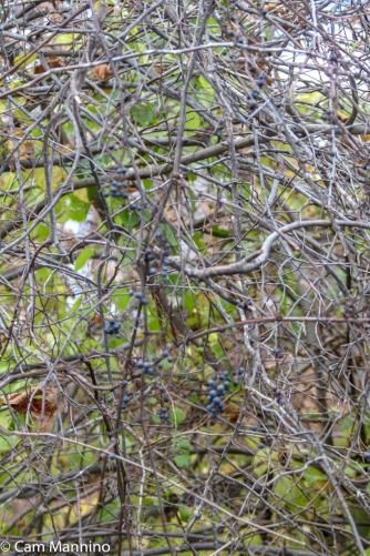 A few weeks later the wild grapes had disappeared, probably nourishing animals as they stock up for winter.