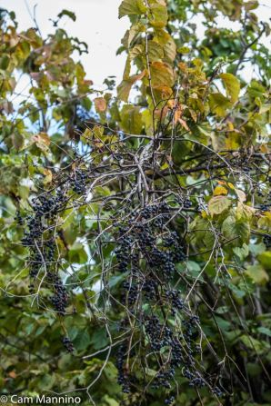 Abundant clusters of wild Riverbank Grapes adorn the branches of this shrub.