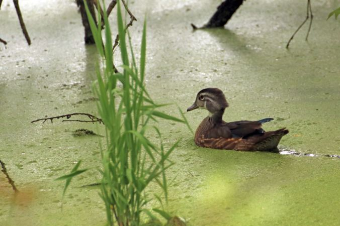 young-wood-duck