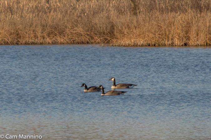 3 Geese Drifting Draper