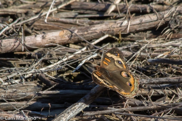 Common Buckeye Butterfly whole wings GC