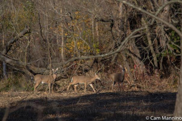 Deer at GC