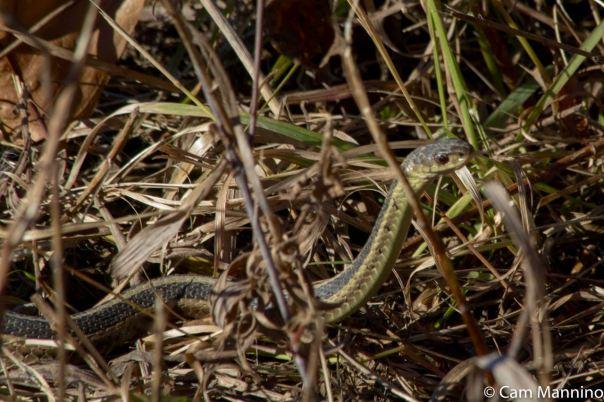 Garter snake closeup GC