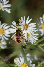 Hoverfly on Aster