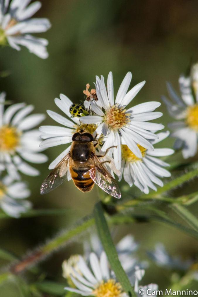 Hover Fly on Daisy Fleabane Draper