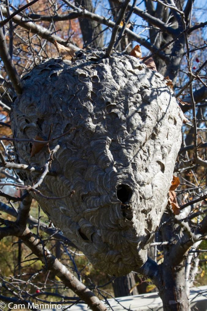 Huge wasp nest at the Pinnacles