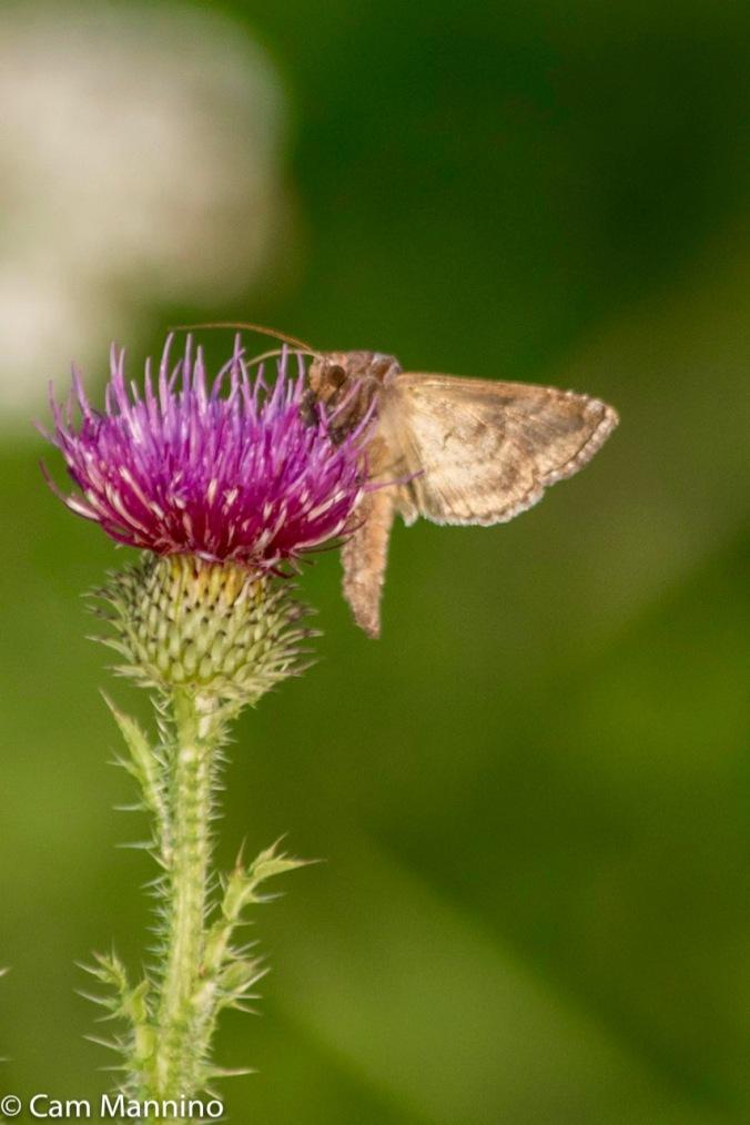 Moth on thistle Draper Lake
