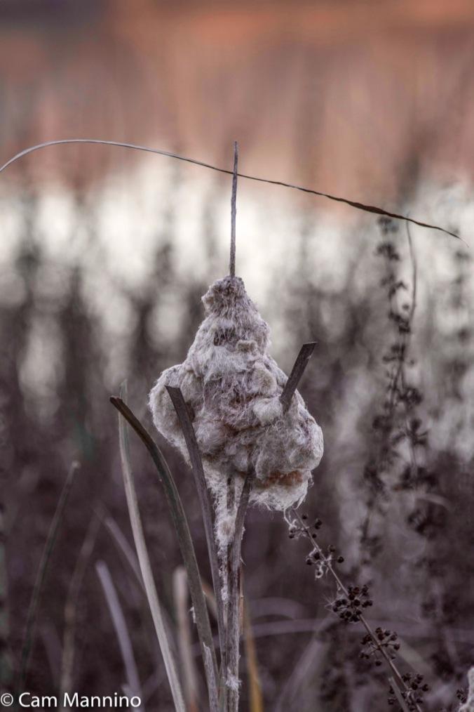 Seeding cat-tail Draper