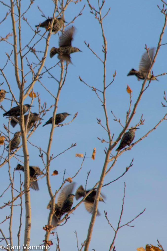 Starlings closeup Draper
